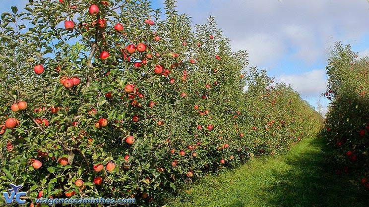Vacaria - maior produtor de maçã do Brasil