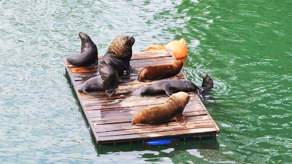 Leões marinhos em Valdívia - Chile