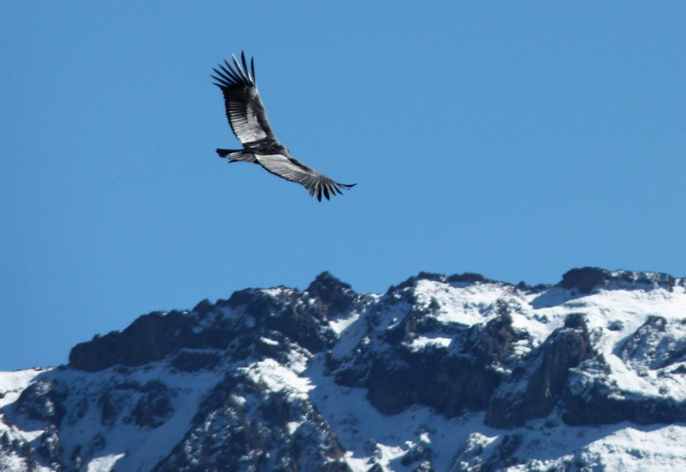 Condor no Cânion Colca