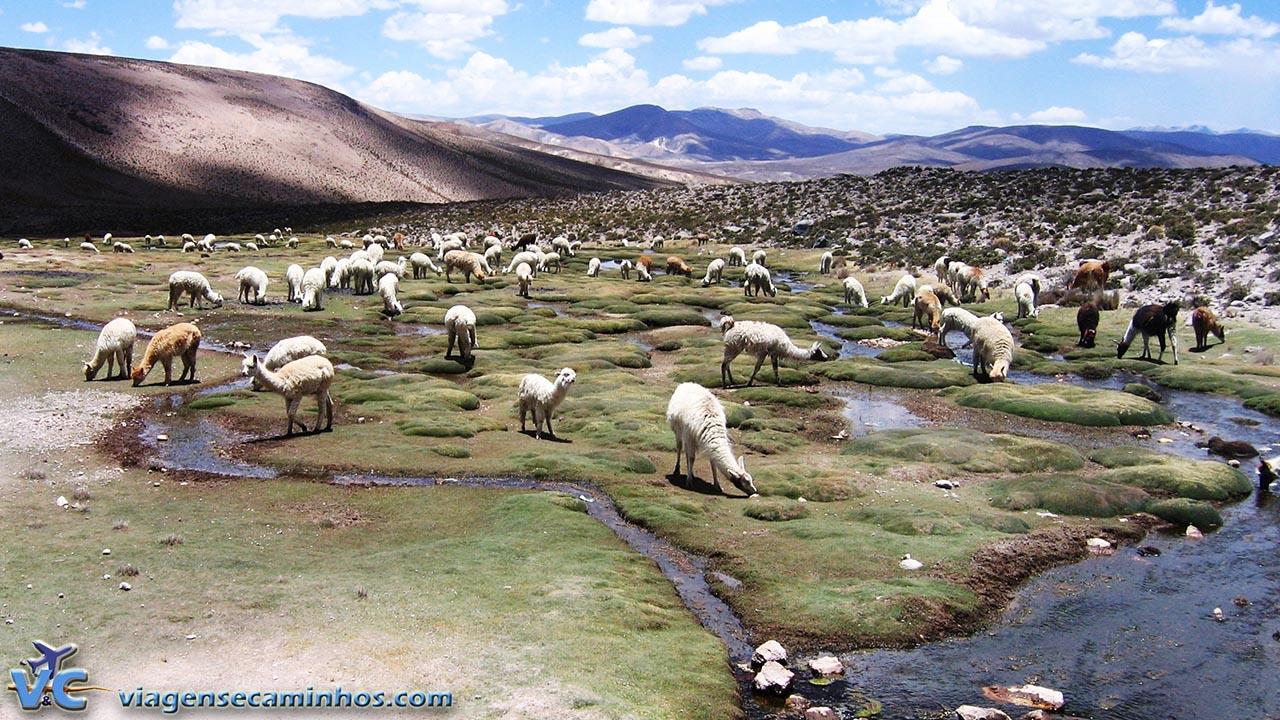 Lhamas e alpacas na estrada para Chivay