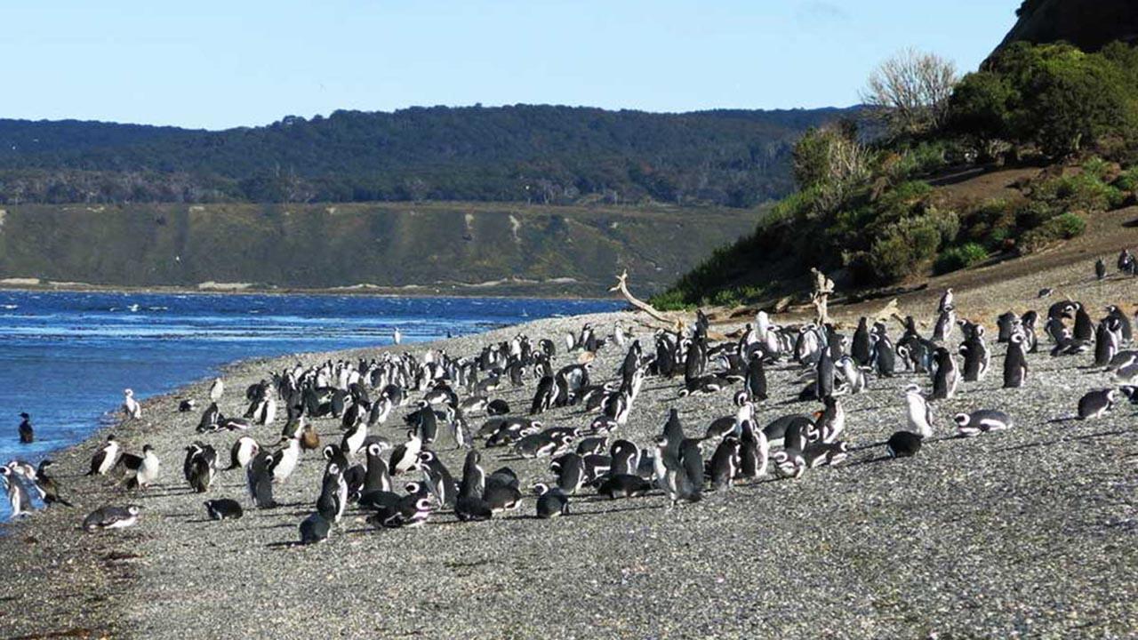 Isla Martillo (Pinguinera)