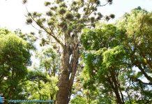 Maior araucária do mundo - Canela