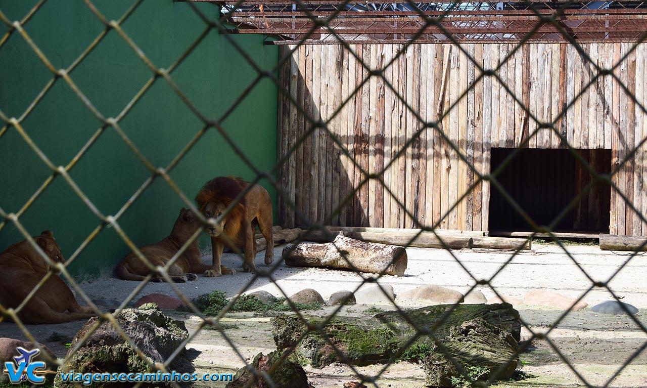 Leões do Zoo de Balneário Camboriú